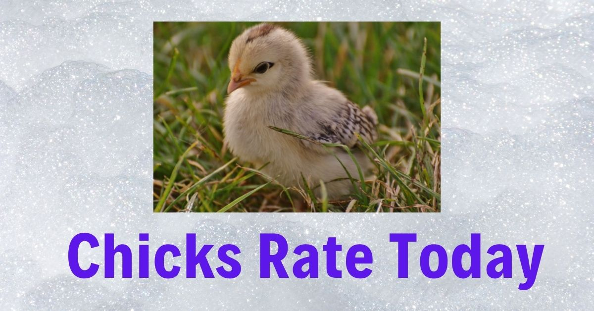 Chicks Price Today